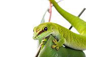 Madagascar Day Gecko on plant isolated white background