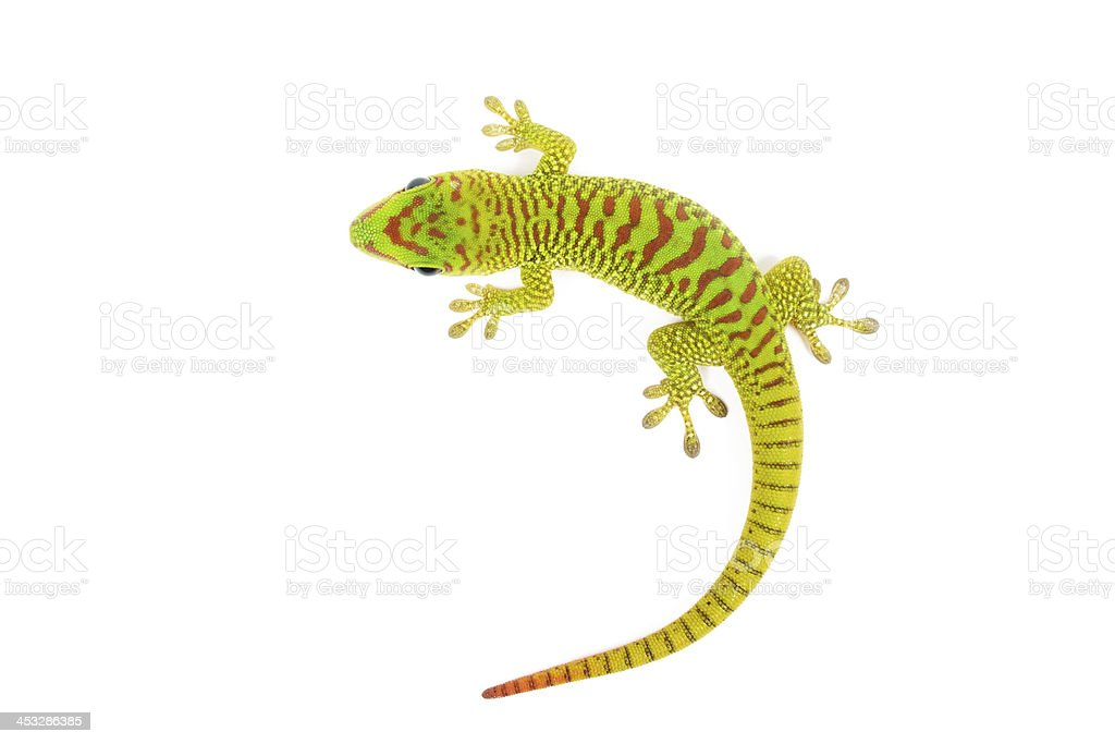Madagascar Day Gecko - Royalty-free Animal Stock Photo
