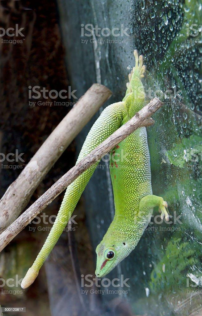 Madagascar Day Gecko (Phelsuma madagascariensis) foto