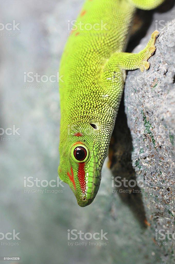 Madagascar Geco Diurno - Fotografie stock e altre immagini