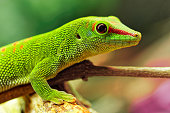 Madagascar day gecko (Phelsuma madagascariensis madagascariensis) is a diurnal subspecies of geckos. It lives on the eastern coast of Madagascar and typically inhabits rainforests and dwells on trees. The Madagascar day gecko feeds on insects, fruit and nectar.