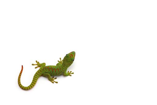 Name: Madagascar day gecko