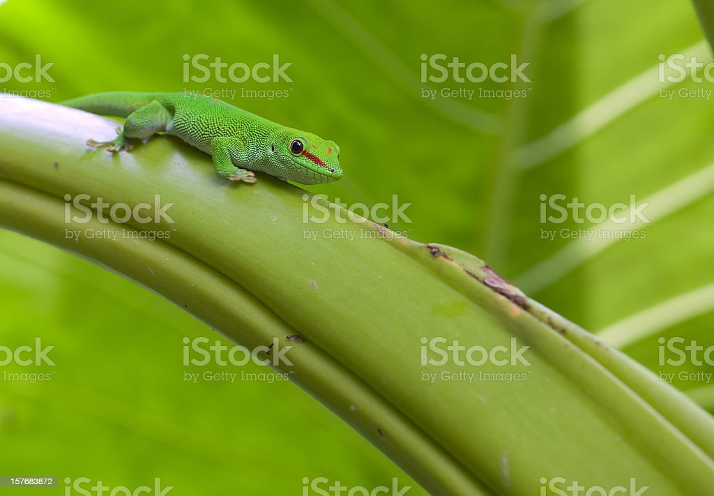 Madagascar gecko royalty-free stock photo