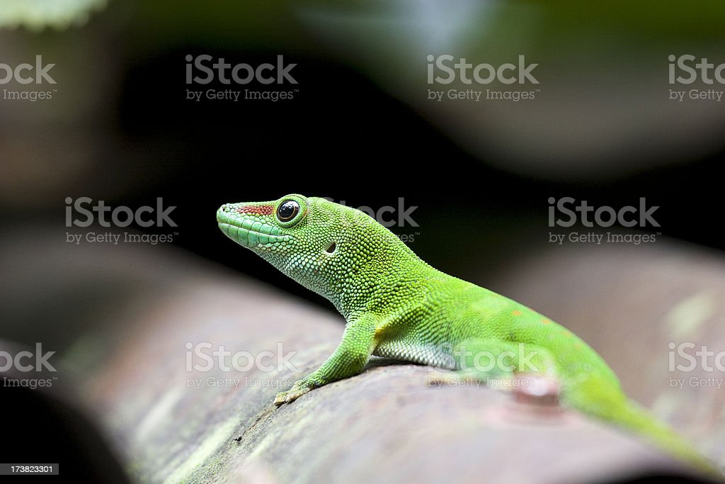 Madagascar gecko royalty-free stock photo