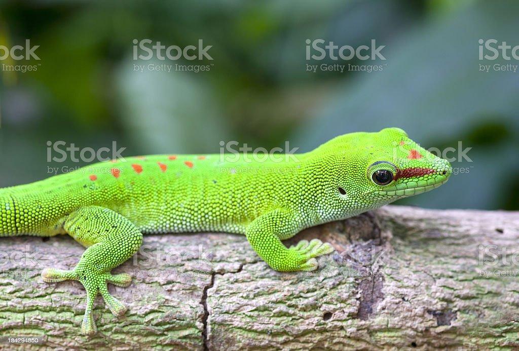 Fotografía de Geco Leopardo De Madagascar y más banco de imágenes de ...