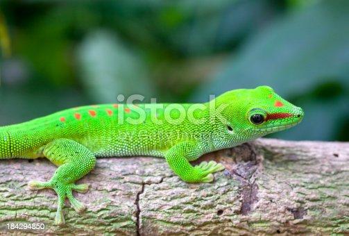 Madagascar geckoSee my other animals photos.