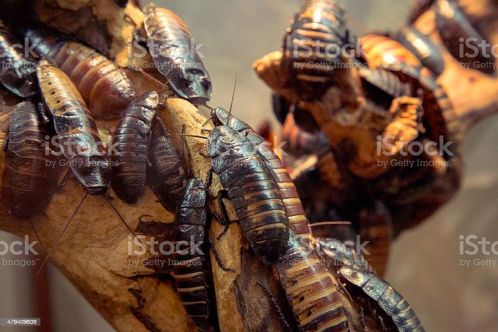 Madagascar hissing cockroach stock photo