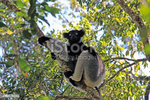 A Indri Lemur (Indri indri indri) hangs from a tree in the Andasibe-Mantadia National Park in Madagascar. A primate, lemurs spend most of their time in the trees.
