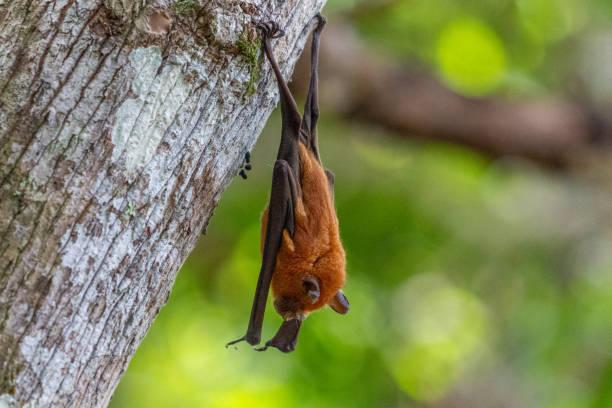 madagaskar, nosy be, lokobe nature special reserve - wasserfledermaus stock-fotos und bilder