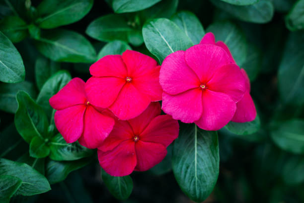 Madagascar Periwinkle flowers in the garden stock photo