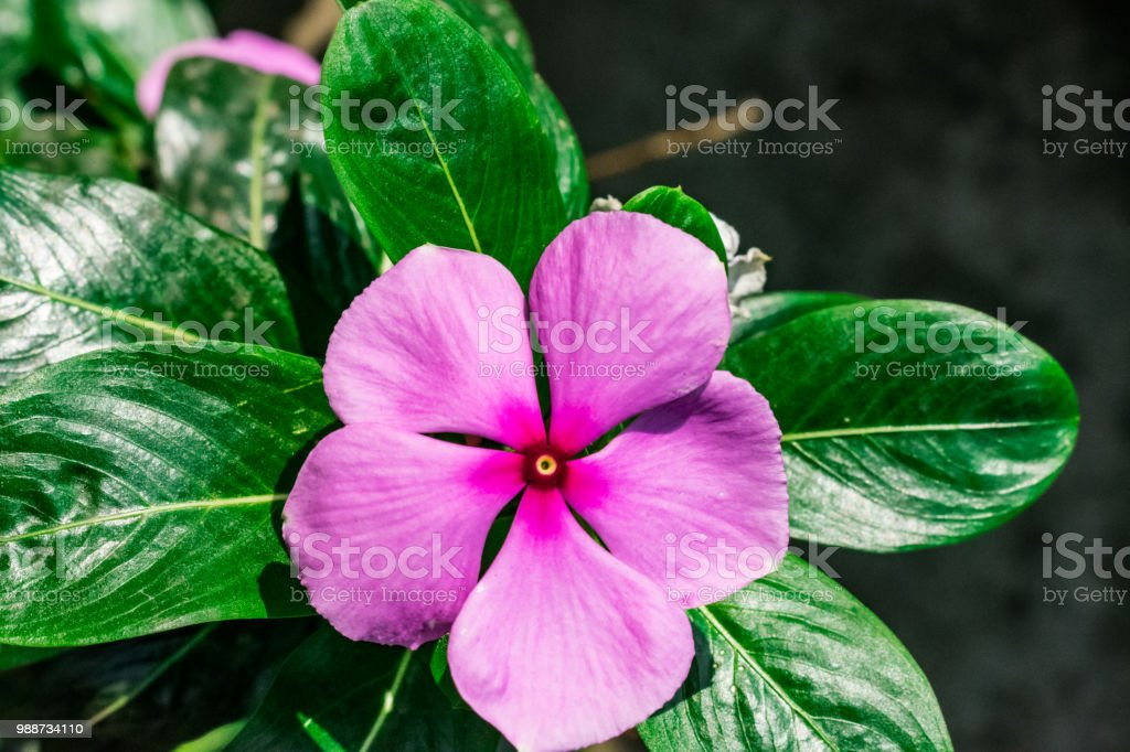 Madagascar Periwinkle Hot Five Petal Flower Five Petals Flower Plant ...