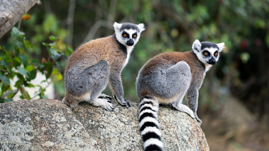 A pair of Ring-Tailed Lemurs (Lemur catta) perched on a rock in the Isalo National Park in Madagascar.