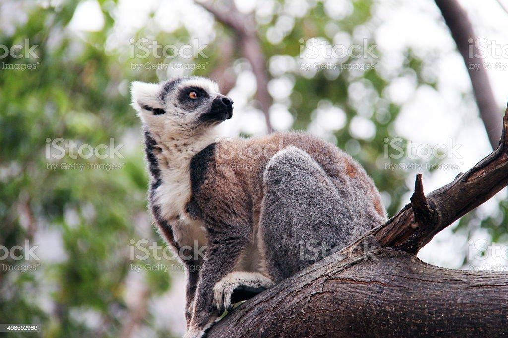 Madagascar: Ring-Tailed Lemur in Isalo National Park stock photo