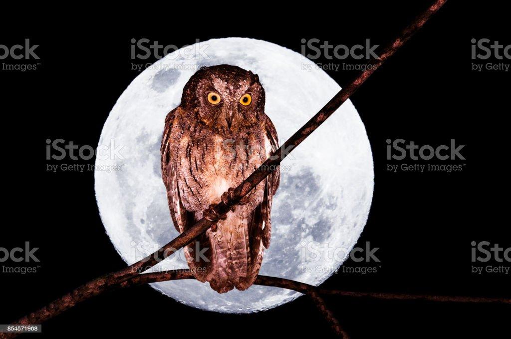 Madagascar scops owl, Otus rutilus, in front of a big full moon stock photo