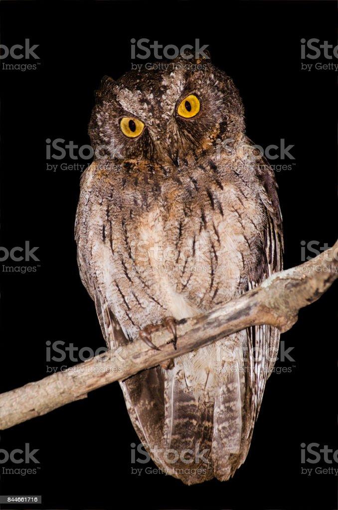 Madagascar scops owl; Otus rutilus; isolated on black background stock photo