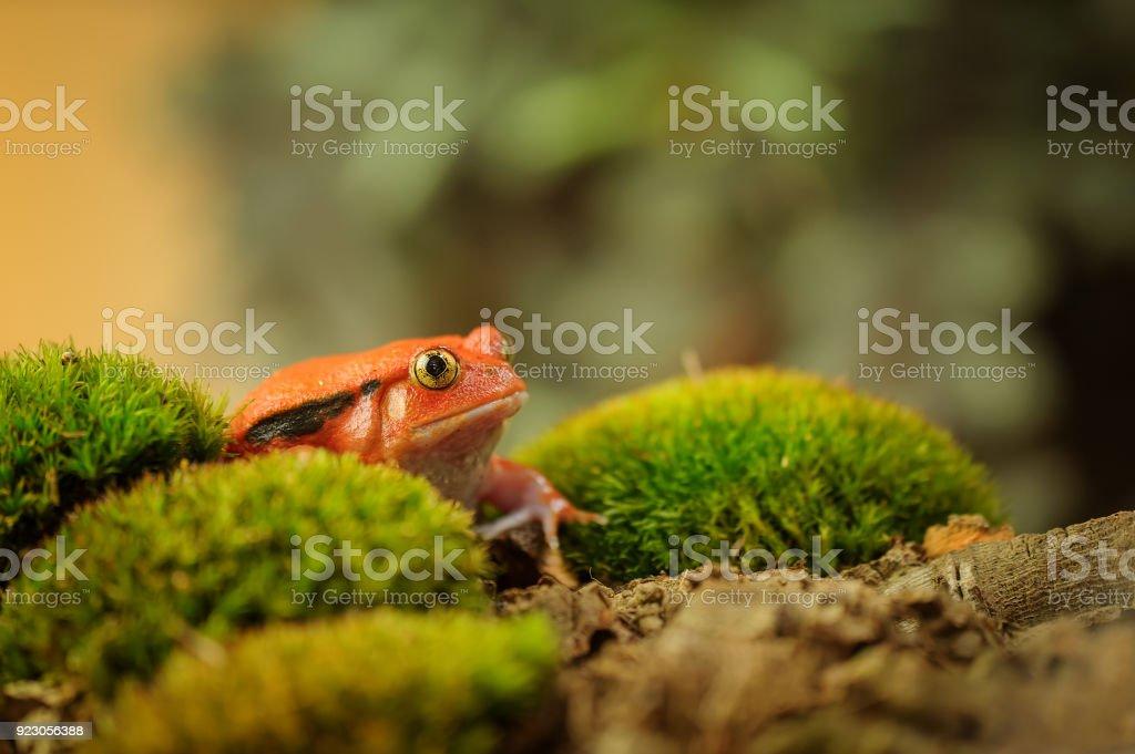 Madagaskar Discophus guineti – Foto