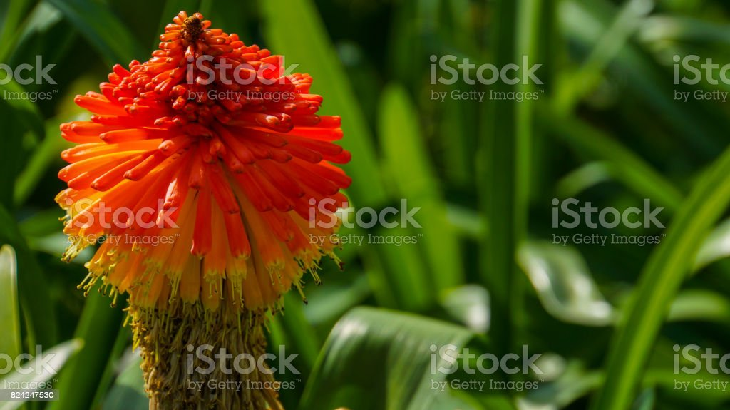 Madeira - Blooming red-hot poker with green background - kniphofia stock photo