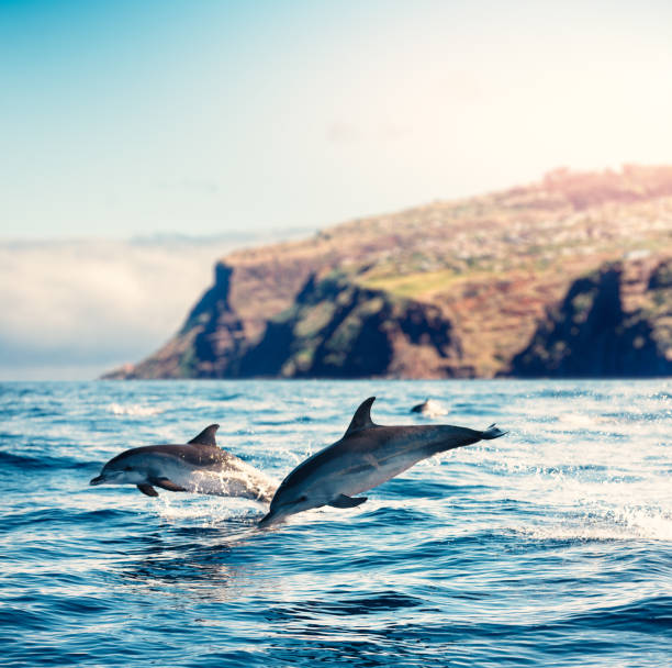 Madeira Island Dolphins stock photo