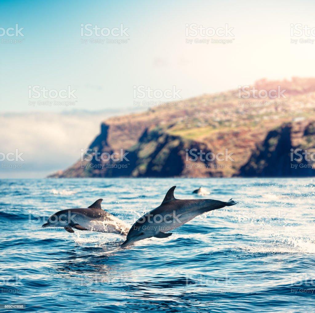Dauphins de l'île de Madère - Photo