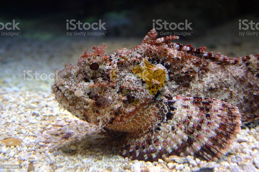 Madeira Rockfish royalty-free stock photo
