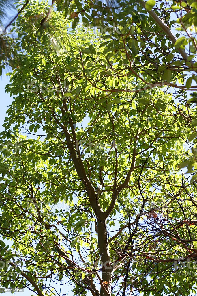 Madrone Tree with Sunlight Shining through Leaves stock photo