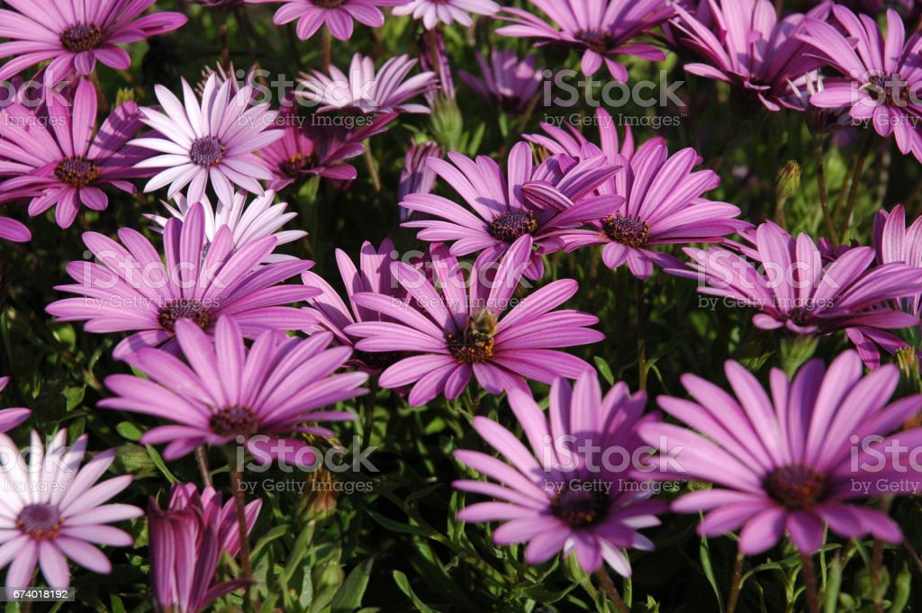 Magaritenblüte in Spanien royalty-free stock photo