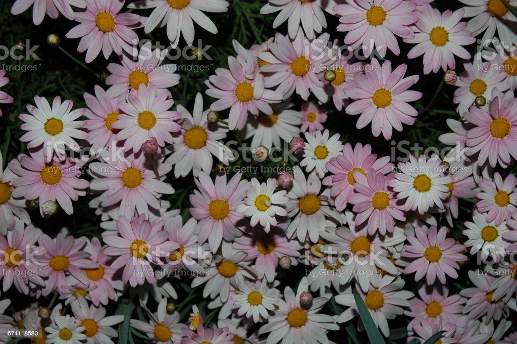 Magaritenblüte in Spanien 免版稅 stock photo