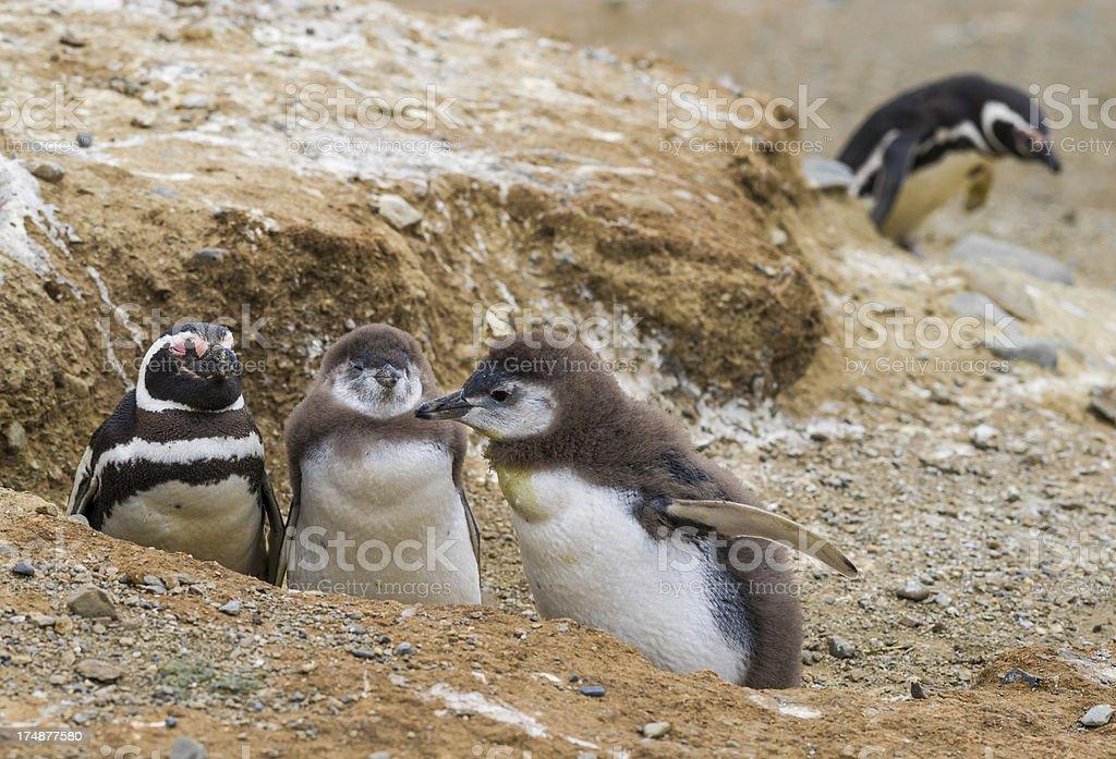 Magellan ( Magellanic) Penguin Family royalty-free stock photo