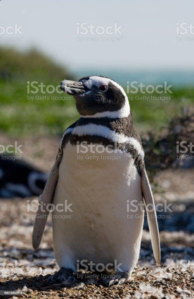 Magellan penguin nesting. foto de stock libre de derechos