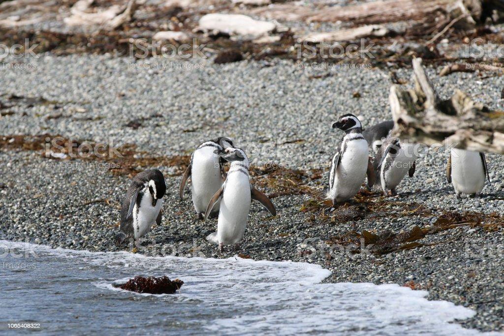 Pinguim de Magalhães na ilha Tucker. Patagônia. Chile - foto de acervo