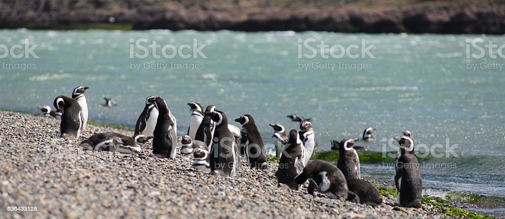 Magellan Penguin stock photo