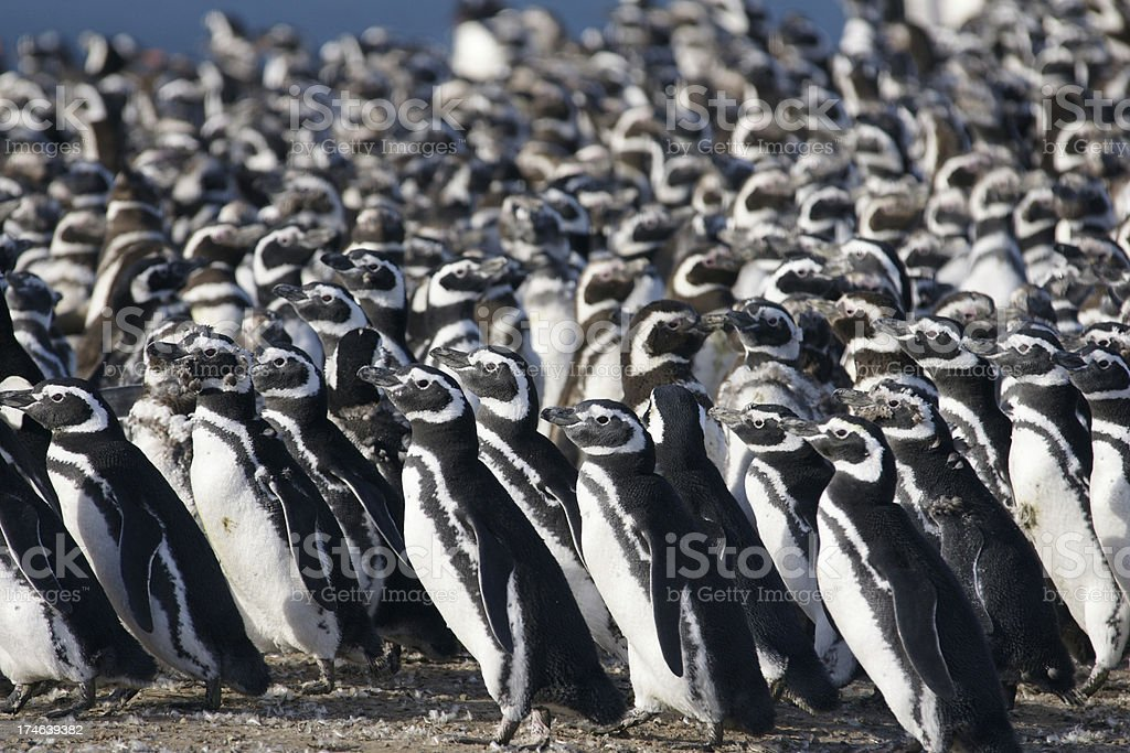 Magellan Penguins royalty-free stock photo