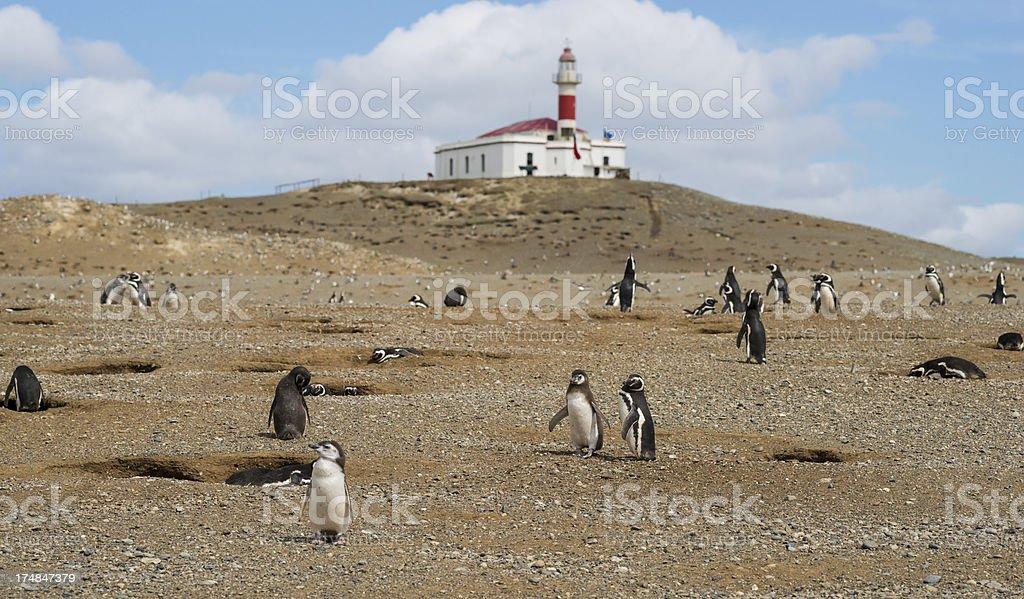 Magellan ( Magellanic) Penguins royalty-free stock photo
