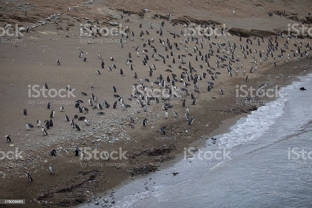 Magellan penguins royalty-free stock photo