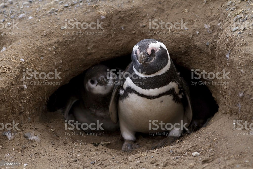 Pinguim-de-magalhães e bebê foto royalty-free
