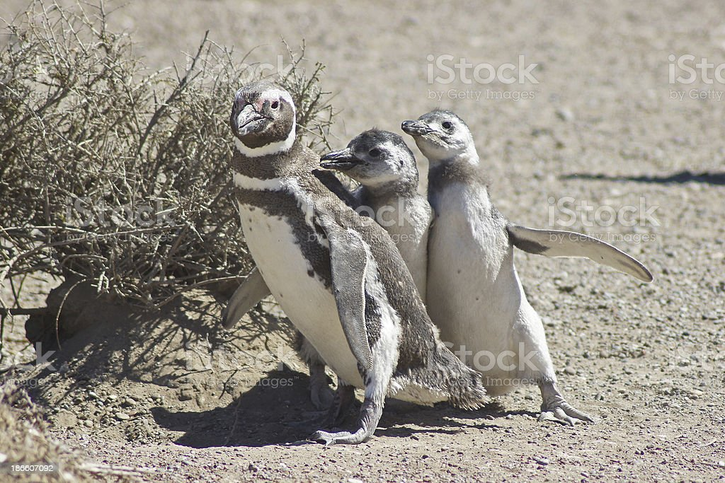 Magellanic Penguin, Argentina stock photo
