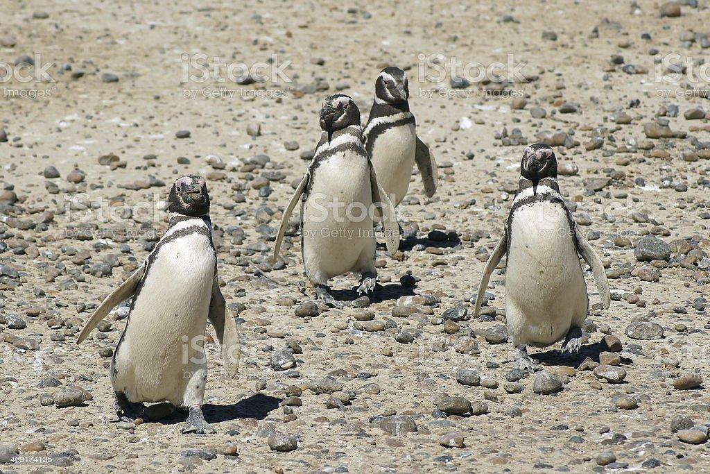Magellanic Penguin, Argentina royalty-free stock photo