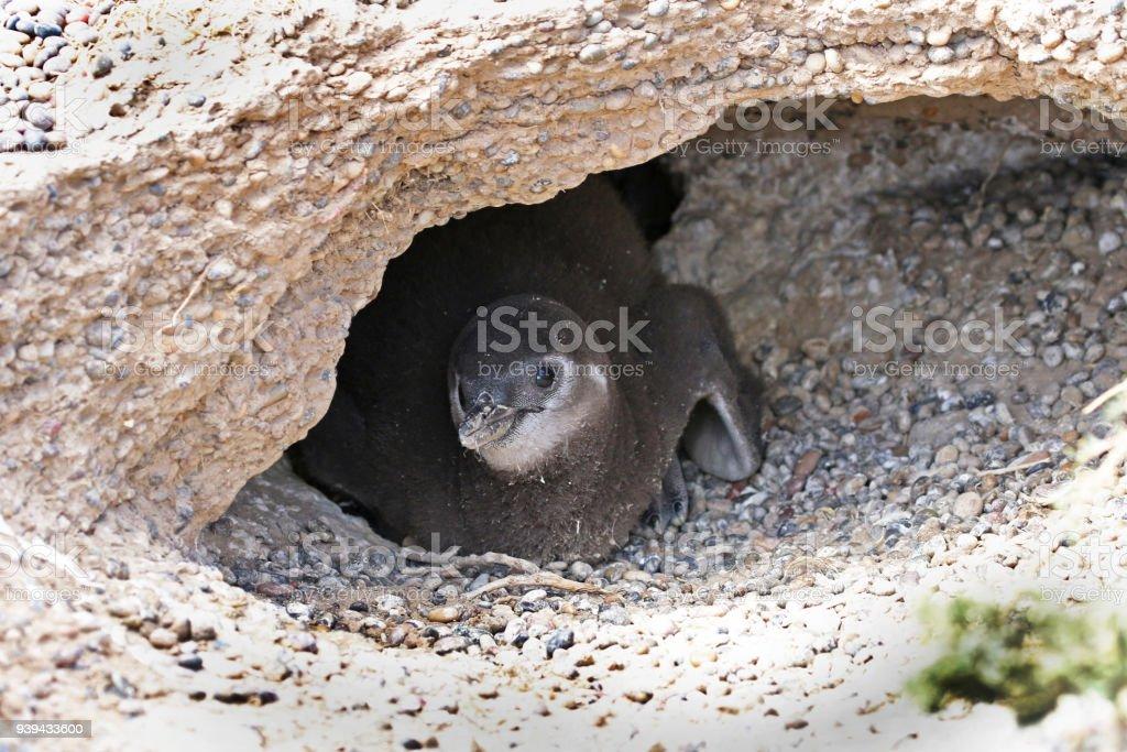Magellanic Penguin Chicks hiding in its nesting burrow at PuntaTombo, Argentina, Patagonia. stock photo