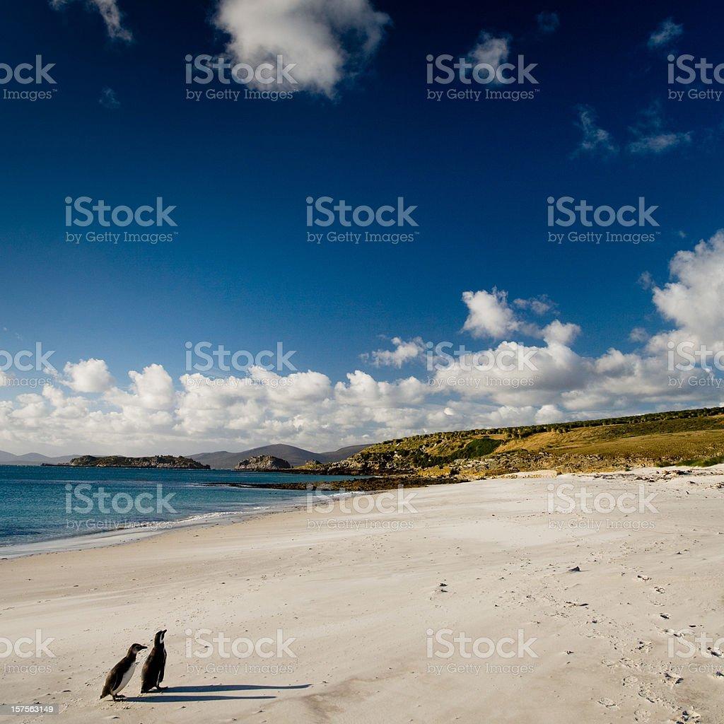 Magellanic Penguin Couple Falkland Islands stock photo