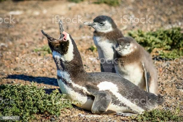 Magellanic penguin family picture id696063772?b=1&k=6&m=696063772&s=612x612&h=f 2awiji6fxerqr4dbnmvamu9sjdnoeyhuxa5bd1g6m=