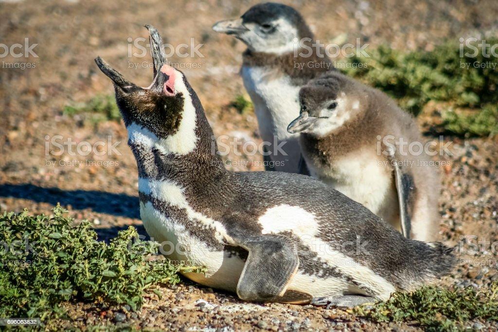Magellanic Penguin Family stock photo