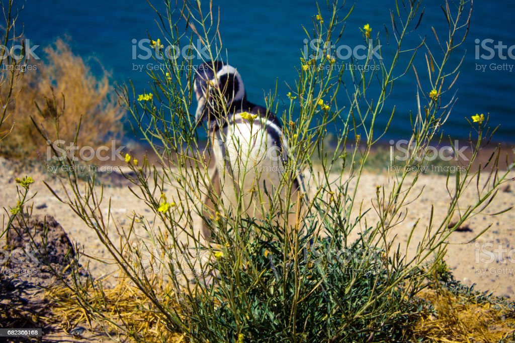 A Magellanic penguin hiding behind the bushes, inside Valdes Peninsula nature reserve, Patagonia, Argentina, South America. foto stock royalty-free