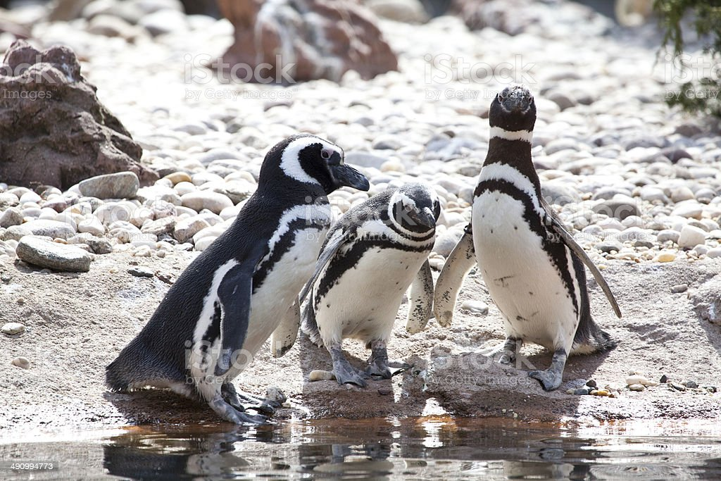 Magellanic Penguin royalty-free stock photo