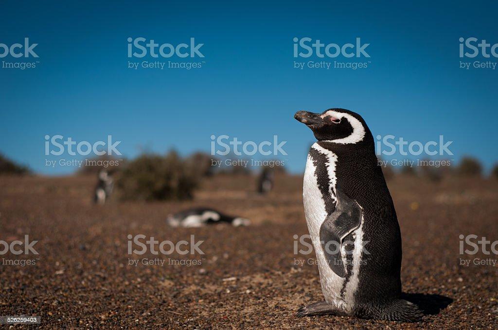 Pingüino magellanic - foto de stock