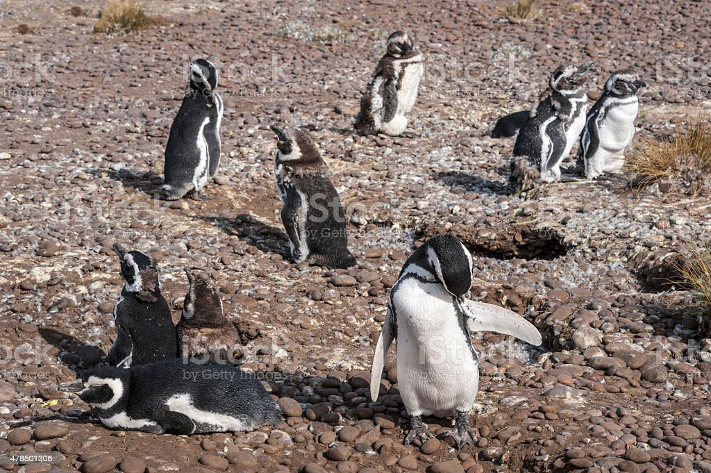 Magellanic Penguins at Punta Tombo stock photo