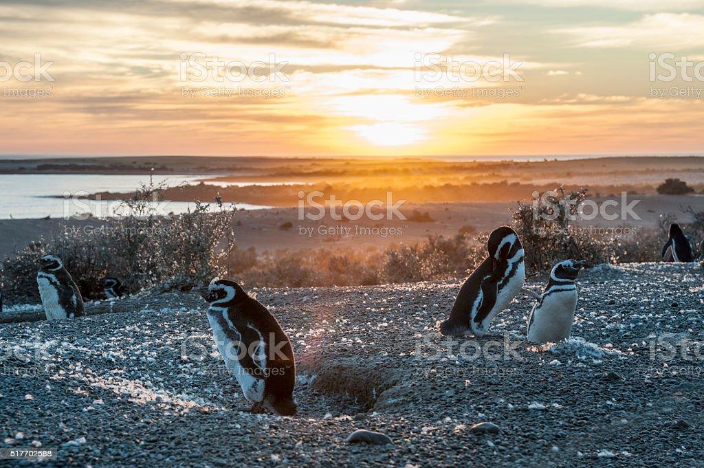 Magellanic Penguins, early morning at Punto Tombo, Argentina stock photo