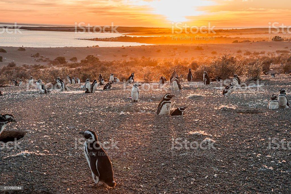 Magellanic Penguins, early morning at Punto Tombo stock photo