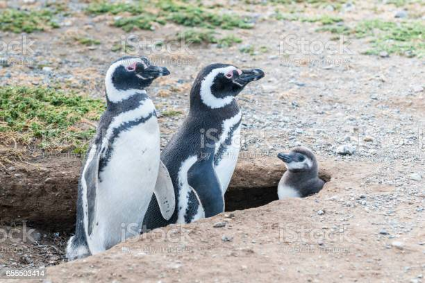Magellanic penguins in patagonia chile south america picture id655503414?b=1&k=6&m=655503414&s=612x612&h=mhrqkw 7e4yzfykwxpd7am1djec5xvcuvcrffnc qgi=