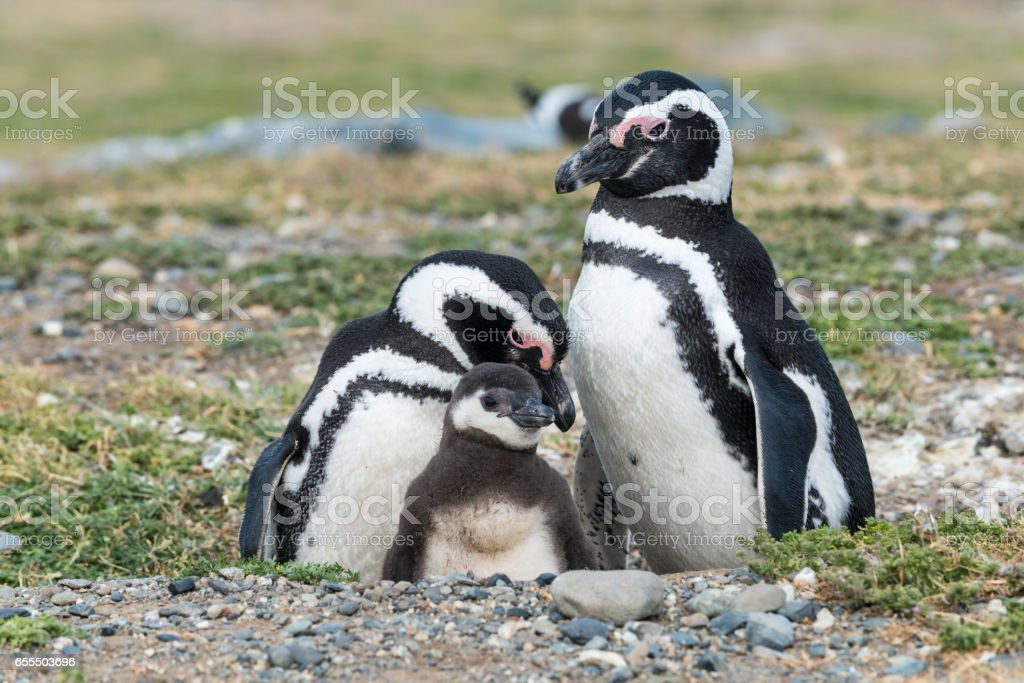 Magellanic penguins in Patagonia, Chile, South America stock photo