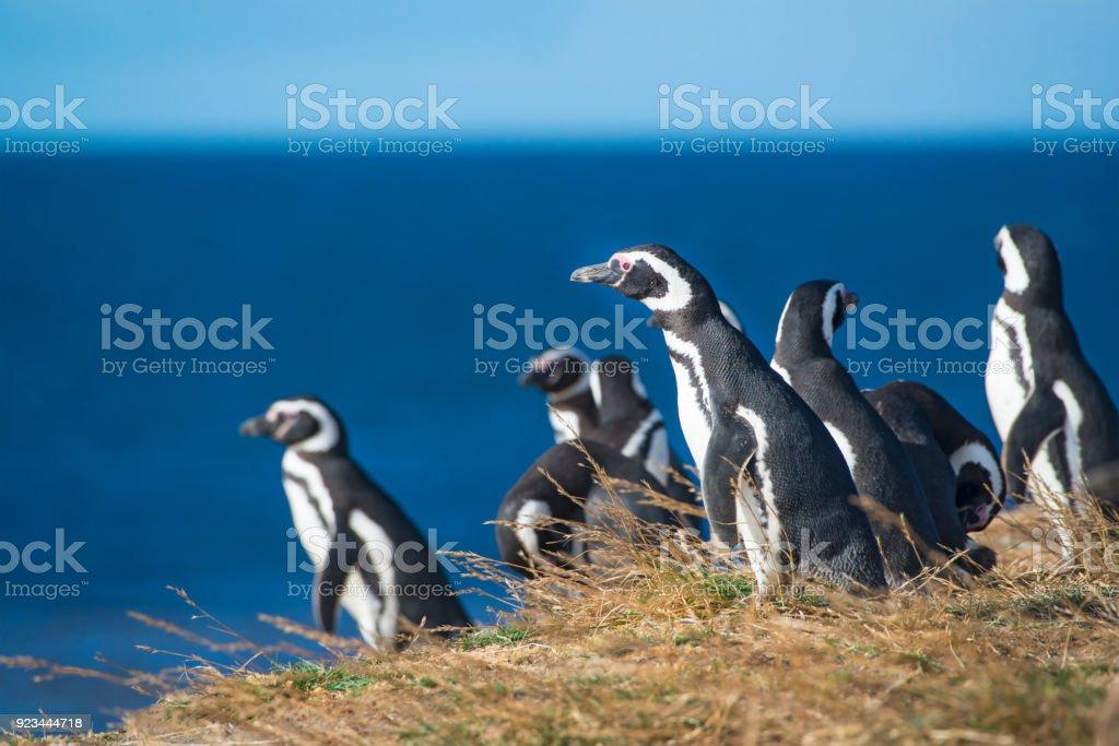 Magellan-Pinguine, Patagonien – Foto
